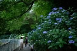 都内有数のあじさいスポット。「高幡不動尊金剛寺」であじさいを撮ってきました。 - 写真スポットで撮ってきました。 | かめらとブログ。