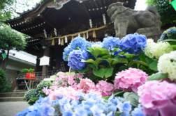 文京あじさいまつり「白山神社」であじさいを撮ってきました。 - 写真スポットで撮ってきました。 | かめらとブログ。