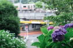 7種類約3,000株「多摩川台公園」であじさいを撮ってきました。 - 写真スポットで撮ってきました。 | かめらとブログ。