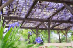 こじんまりとした藤棚がちょっと穴場。 「旧芝離宮恩賜庭園」で藤を撮ってきました。 - 写真スポットで撮ってきました。 | かめらとブログ