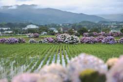 開成町あじさいまつり。あじさいの里で田園風景とあじさいを撮ってきました。 - 写真スポットで撮ってきました。 | かめらとブログ。
